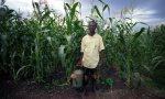 Malawi maize crop